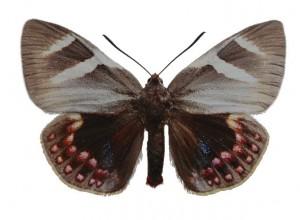 castnia-psittacus-male