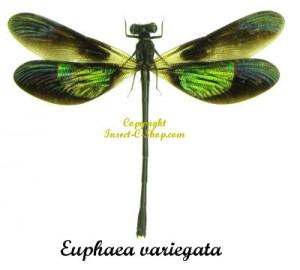 euphaea-variegata