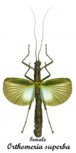 orthomeria-superba-female