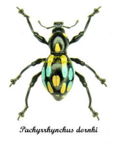 pachyrrhynchus-dornhi
