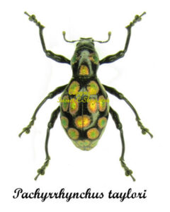 pachyrrhynchus-taylori-reddish