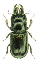 ceruchus-chrysomelinus-m