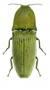 chalcolepidius-porcatus-brown