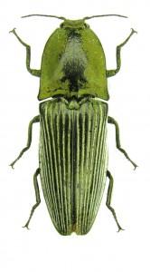 chalcolepidius-porcatus-green