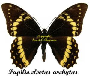 papilio-cleotas-archytas-m