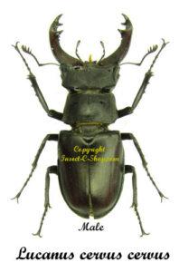 lucanus-cervus-male