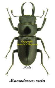 macrodorcas-recta