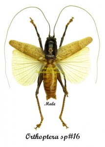 orthoptera-sp16-male