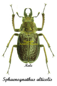 sphaenognathus-alticolis-male