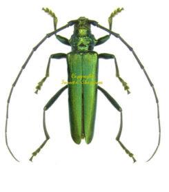 Europe - Cerambycidae