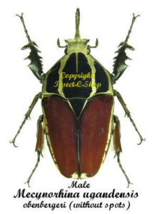 m-ugandensis-obenbergeri-without-spot-m