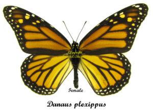 danaus-plexippus-female