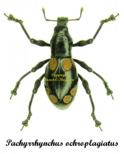 pachyrrhynchus-ochroplagiatus