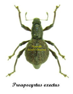 proapocyrtus-exectus