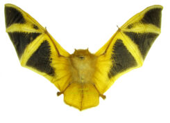 Chiroptera (Chauve souris)
