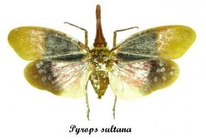 pyrops-sultana
