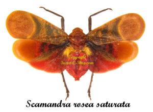 scamandra-rosea-saturata