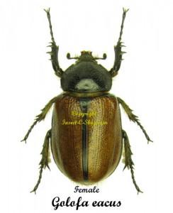 golofa-eacus-female