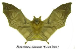 hipposideros-larvatus-brown