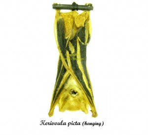 kerivoula-picta-hanging