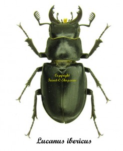 lucanus-ibericus-male