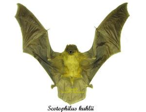 scotophilus-kuhlii