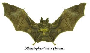 rhinolophus-luctus-brown
