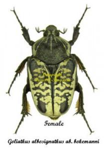 goliathus-albosignatus-bohemanni-female