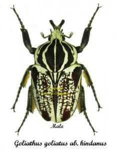 goliathus-goliatus-kindanus-male