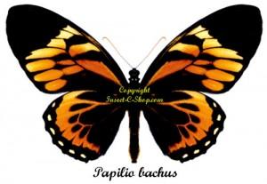 papilio-bachus
