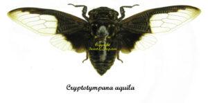 cryptotympana-aquila