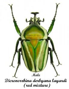 dicronorrhina-derbyana-layardi-red-male