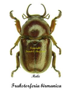 fruhstorferia-birmanica-male