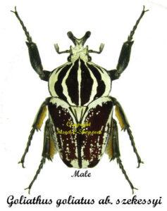goliathus-goliatus-szekessyi-male