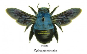 xylocopa-caerulea-female