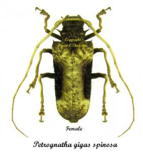 petrognatha-gigas-spinosa-female