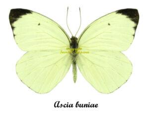 ascia-buniae