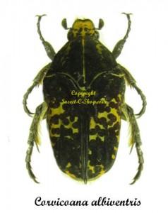corvicoana-albiventris