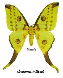 argema-mittrei-female