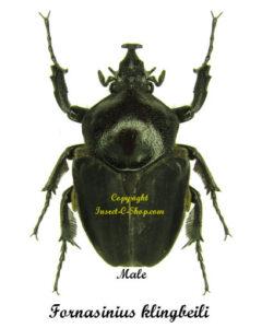 fornasinius-klingbeili-male-47mm
