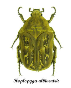 hoplopyga-albiventris