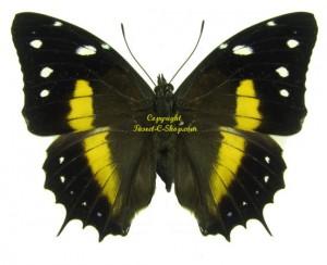 baeotus-deucalion