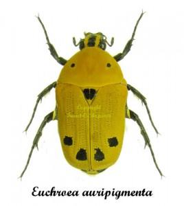 euchroea-auripigmenta