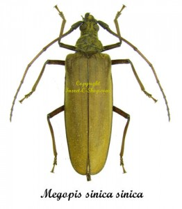 megopis-sinica-sinica