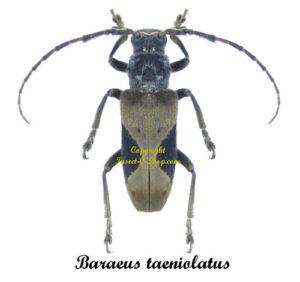 baraeus-taeniolatus-cameroon