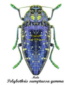 polybothris-sumptuosa-gemma-male