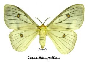 ceranchia-apollina-female
