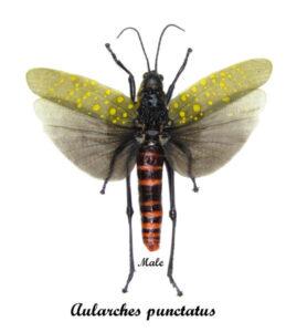 aularches-punctatus-male