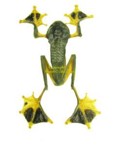 Amphibian (Frog)