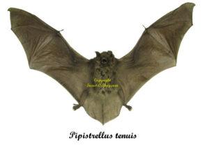 pipistrellus-tenuis